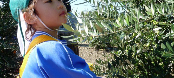 年長(5才児) オリーブ摘み
